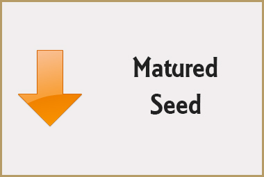 Seed Deterioration - Matured Seed